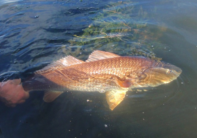 Go Back > Gallery For > Redfish Pictures